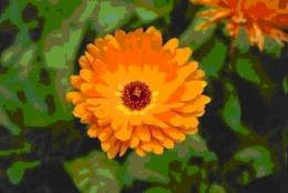 Used externally Calendula is considered to be one of the best antiseptics because of its high content of natural iodine. Nutritionally supports the skin and connective tissues used internally and externally.  Internally heals membranes and aids such conditions as colon conditions, gum diseases, healing after operations, liver and stomach problems.