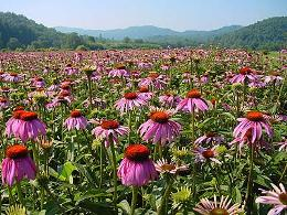 Echinacea also expels poisons and toxins. Echinacea activates the body�s defense system against all outside influences and inflammatory conditions. Echinacea has antibiotic, anti viral and anti-inflammatory properties.  Echinacea blocks the receptor site of the virus on the surface of the cell membranes preventing cell infection. Echinacea was the origional snake oil sold by Joseph Mayer.
