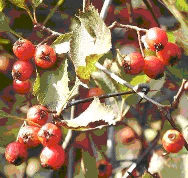 Hawthorn is top herb for heart, moves oxygen to heart, increases enzymatic metabolism of heart muscles.  Hawthorn mildly dilates coronary blood vessels, reduces blood pressure and thereby stress on the heart.