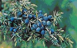 Juniper Berries, are top urinary system herb, believed to ward off plague, relieve arthritis, Increases urine flow, destroys bacteria in kidney bladder, prevent crystallization of uric acid in kidney, excellent blood cleanser, tone the pancreas.