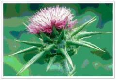 Milk Thistle, ingredient called Silmarin is restorative, protecting liver cells from toxins. Accelerates protein synthesis by liver cells cause SOD prouduction potent free radical scavenger.