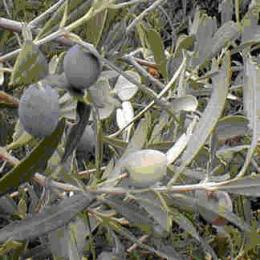 Olive Leaf, contains oleuropein, which reduces hypertension, inactivates bacteria, by dissolving outer lining of cells, and interferes with amino acid production viruses require.