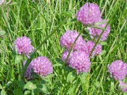 Red clover, 400 years empirical history, powerful anti-cancer it thins blood and improves circulation. Excellent herb for lungs, has antibiotic qualities strong blood cleanser.