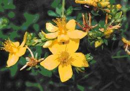 Saint Johns Wort�s compound Hypericin used as an anti-depressant also increases blood flow to stressed tissue. As liniment or poultice over the spine relieves sciatica.