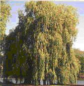 White Willow, origional aspirin, great gift to man, contains glucoside salicin, effective painkiller no side effects. Relief of fevers, headaches, sciatic, arthritic aches and pains.