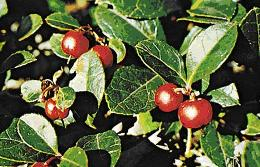 Winter Green, remedy for aching, arthritic, or overexerted muscles and joints. Internally, wintergreen tea taken to relieve fever, gonorrhea symptoms, sore throats, upset stomachs, ulcers.
